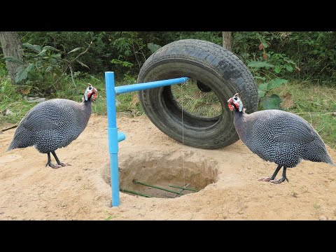 Creative Guinea Chicken Trap - Attractive Guinea Chicken Trap Build From Car Wheel And Deep Hole