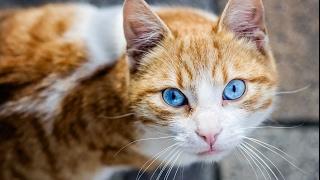 Охос азулес (Голубоглазая кошка)