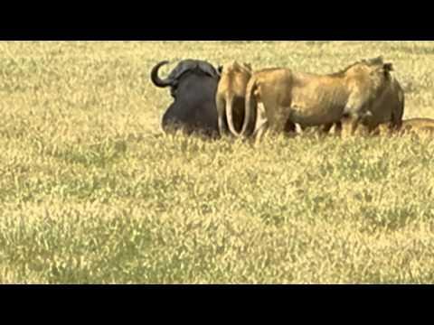 Lions attack Cape buffalo in Ngorongoro Crater, Tanzania - 3rd of 4 DSCN1363