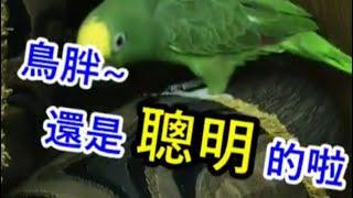 聰明搞笑•療癒您心【小黃帽鸚鵡】