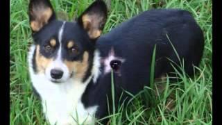 Pembroke Welsh Corgi Dog Pictures