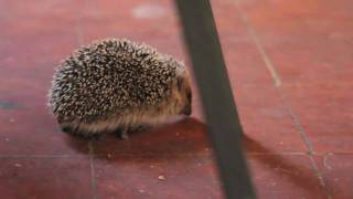 browsing hedgehog in barga