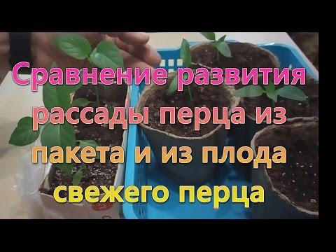 Как выращивать рассаду перца из свежих семян. Выращивание рассады перца из свежих семян. Перец.
