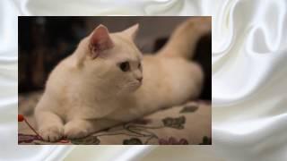 """Британский котенок (кремовый окрас) """"Персей"""". British cream cat (Persey)"""