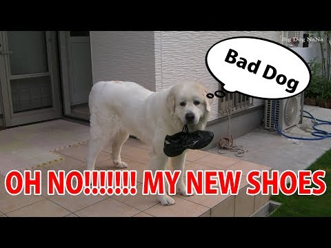 Big Dog NaNa Like prank. OH no! MY SHOES.