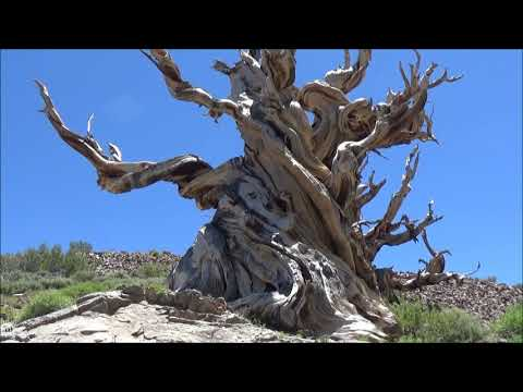 Ancient Bristlecone Pine Forest, White Mountains, California.