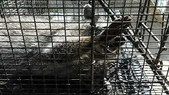 Raccoon removal Maryland / Delaware