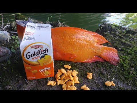 Catching GOLDFISH with Goldfish!!! Monster Mike