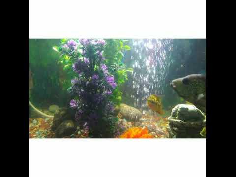 American Cichlids Oscars Fish Aquarium