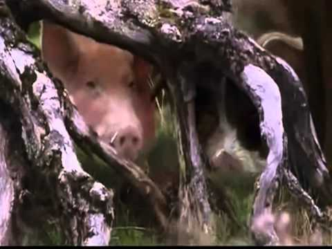 Trailer do filme Babe - O Porquinho Atrapalhado na Cidade