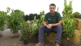 Laurel Hedging Plants - Hopes Grove Nurseries