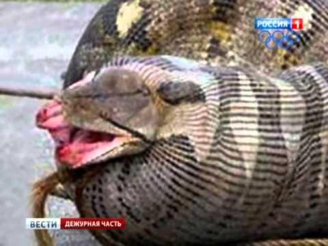 ВИДЕО: гигантская анаконда заживо проглотила
