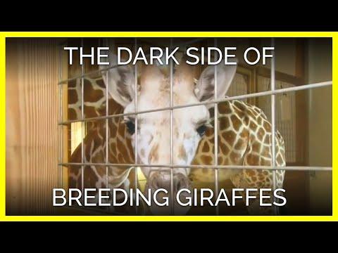 The Dark Side Of Breeding Giraffes For Entertainment