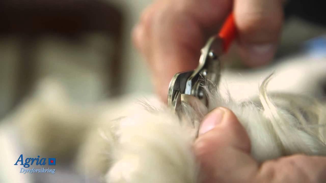 hvordan klippe hundeklør