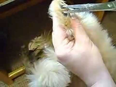 щенок шитцу