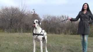 Great Dane Training And Perfect Control With Dog Lead And Harness