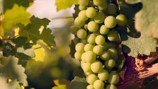 Vlog: From Gobi Desert to vinery: a legend of wine in China's Xinjiang