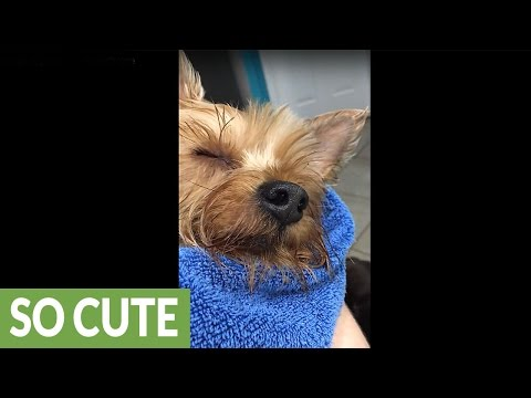 Owner sings dog to sleep after bath time