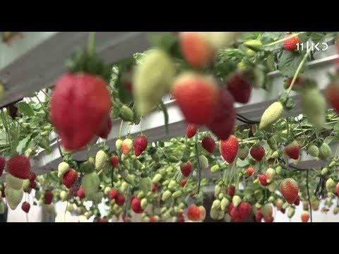 רק תותים יביאו שלום: חקלאים ישראלים ופלסטינים משתפים פעולה