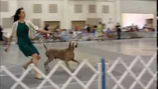 """riley"" In Stud Dog Class At The 2013 Weimaraner Nationals"