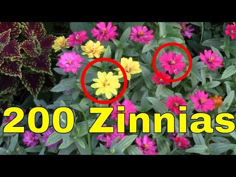 Dwarf Zinnas Many Colors Garden Landscape Plant Red Yellow Orange White Pink Peach
