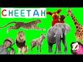 First Words #11 Cheetah | Learning 6 Wild Animals | Learn English Kids Matt Vs Cheetah video