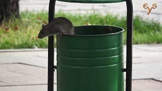 История серой крысы / A Brown rat story