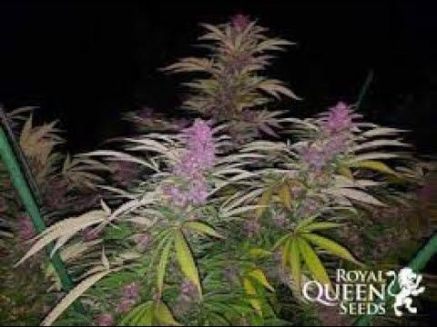 Download Seguimiento Purple Queen de RQS