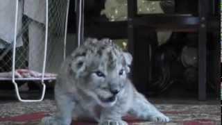 У белой львицы и африканского льва родились серые котята