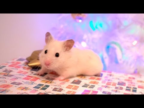 Vanilla's Christmas Gift 🎄 Hamster Box 🎁