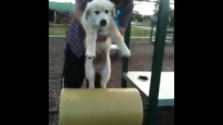 Dog-cer-size Golden Retriever Puppy