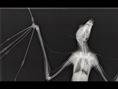 Juvenile flying-fox has an X-ray at vet:  this is Tempest
