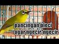 Pancingan Pleci Agar Birahi Sehingga Mempercepat Pleci Buka Paruh Burung Pleci  Mp3 - Mp4 Download