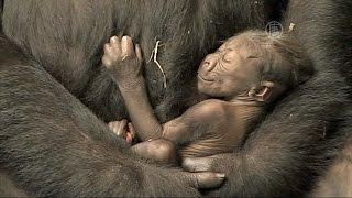 В зоопарке Иллинойса детеныша гориллы показали публике (новости)(http://ntdtv.ru/ В зоопарке Иллинойса детеныша гориллы показали публике. В зоопарке Брукфилд штата Иллинойс родил..., 2015-09-26T06:55:15.000Z)