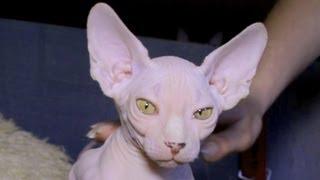 Все О Домашних Животных: Инопланетные Кошки Сфинксы
