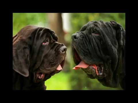 Neapolitan Mastiff - big dog breed, pictures