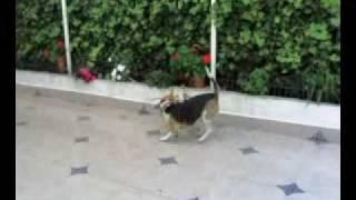 Beagle Vs Labrador Puppy Round 1