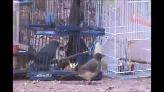 Comment faire un piège pour les oiseaux
