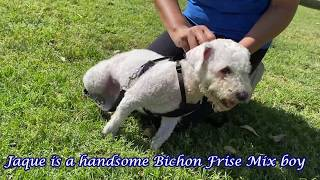 Meet Jaque -  Distinguished Bishon Frise Mix Senior Gentleman