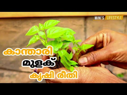 കാന്താരി മുളക് കൃഷി രീതിയും പരിചരണവും | Kanthari Krishi | Birds Eye Chilli Farming In Malayalam