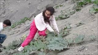 kırköy muş 2017 srong ışkın toplama yeme