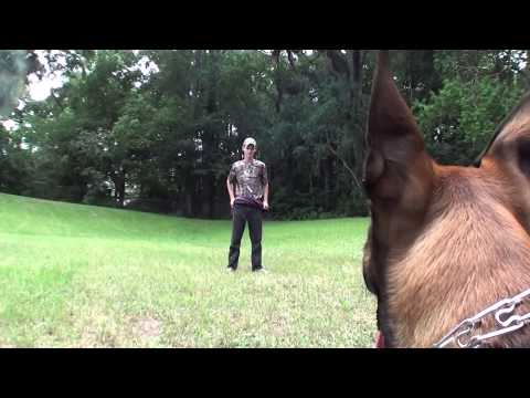 Protection Training of My 5 Month Old Belgian Malinois Police Dog