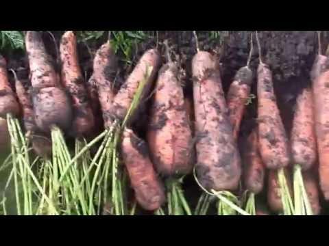 Уборка и отличный способ хранения моркови и свеклы в домашних условиях.