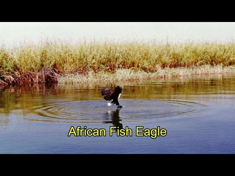 African Fish Eagle. The Call Of Africa.