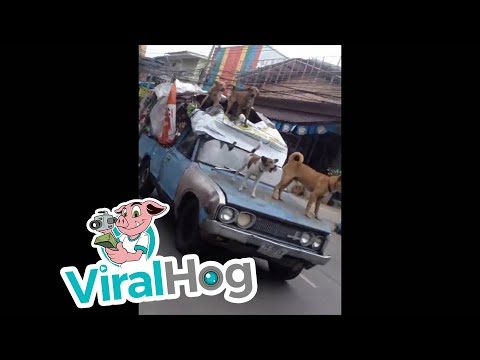 Pack of Dogs go Car Surfing