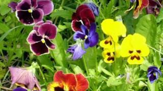 Franco Califano - Fiore di campo di Primavera