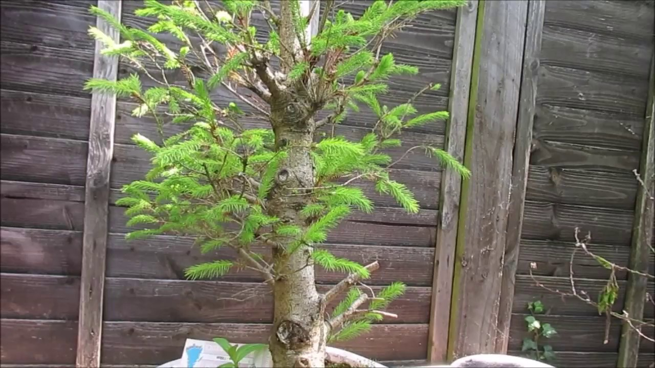 impulse buy christmas tree to bonsai tree update may 2017