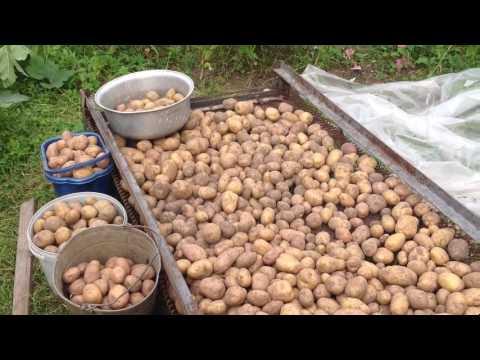 Как выбрать картошку на семена