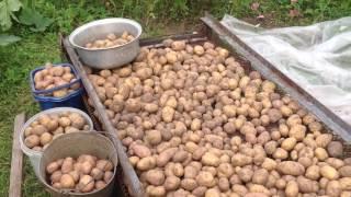 видео Семенной картофель