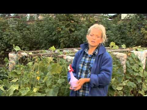 Пепино: особенности выращивания и размножения -